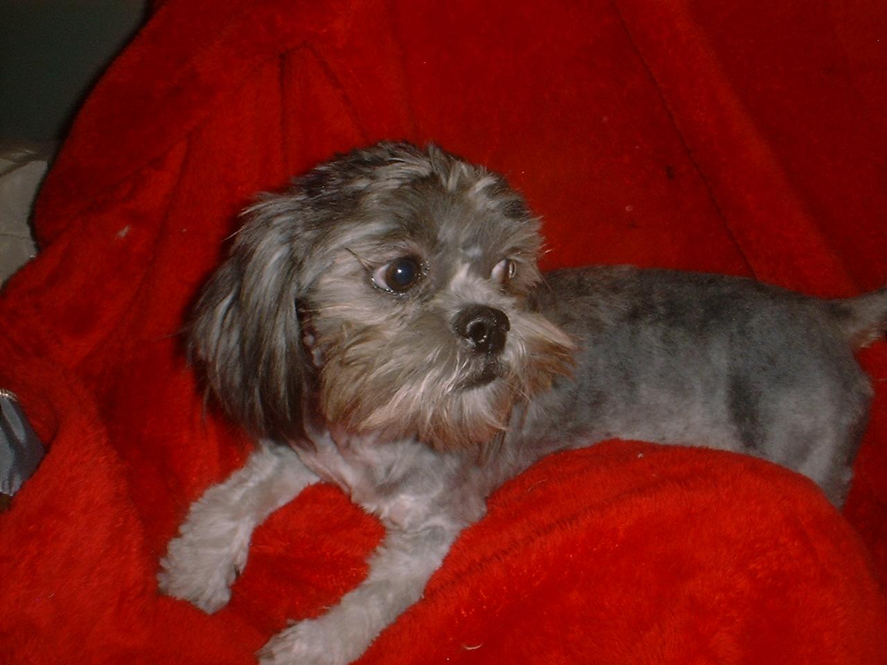 tiny shih tzu puppies for sale arizona akc shih tzu breeder - HD1280×960